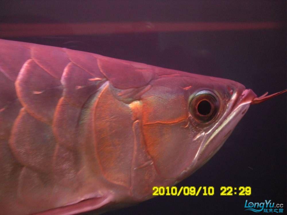 我的红龙鱼,前济南观赏鸟处理面发贴,大家说鱼发色慢我买了御龙国际顶灯后的效果!大 济南观赏鱼 济南龙鱼第9张