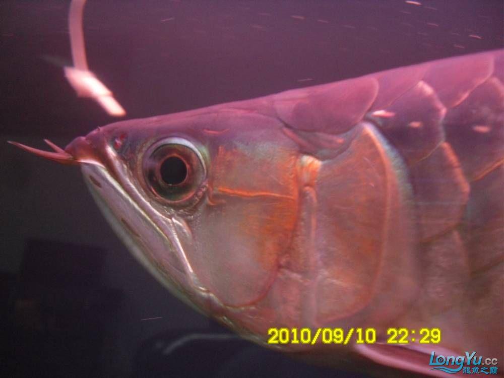 我的红龙鱼,前济南观赏鸟处理面发贴,大家说鱼发色慢我买了御龙国际顶灯后的效果!大 济南观赏鱼 济南龙鱼第7张