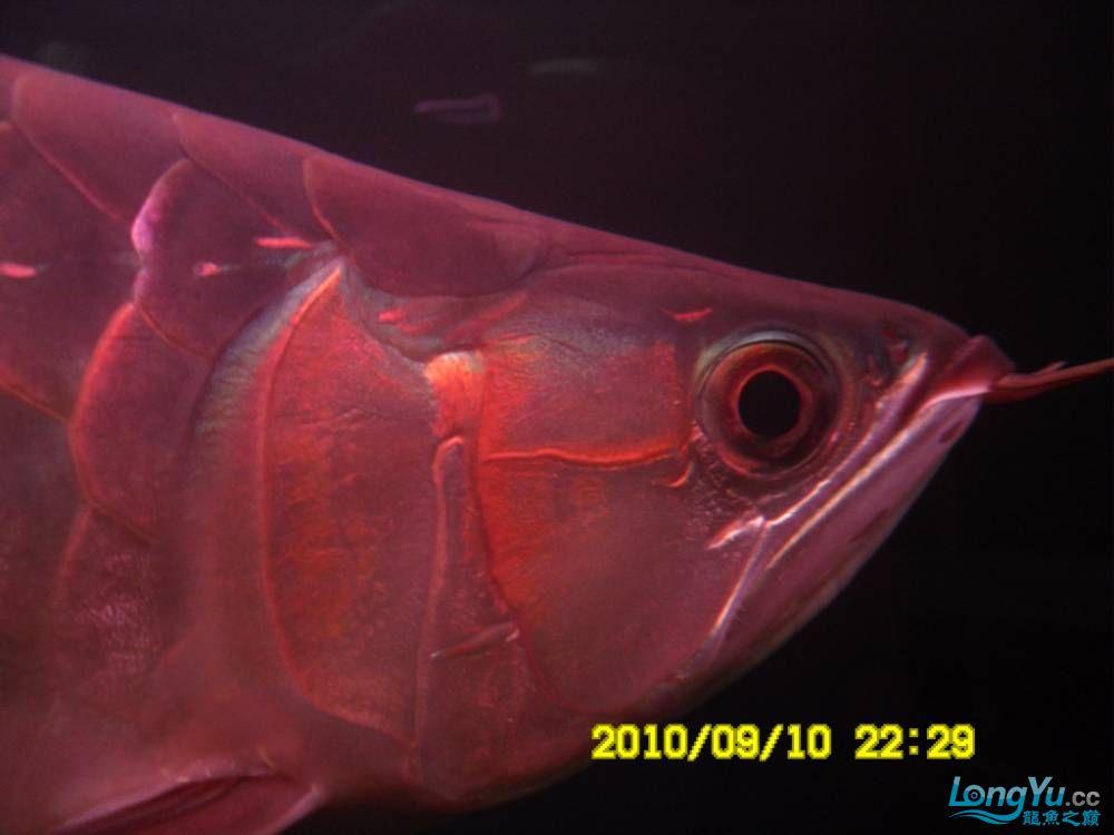 我的红龙鱼,前济南观赏鸟处理面发贴,大家说鱼发色慢我买了御龙国际顶灯后的效果!大 济南观赏鱼 济南龙鱼第6张