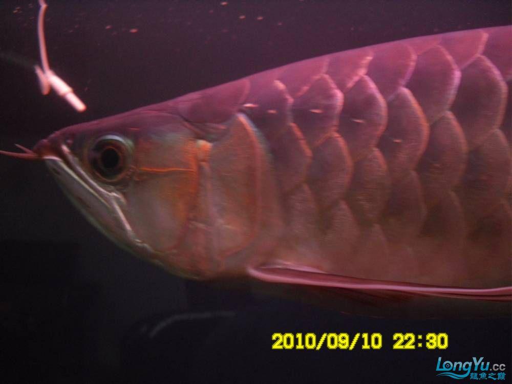 我的红龙鱼,前济南观赏鸟处理面发贴,大家说鱼发色慢我买了御龙国际顶灯后的效果!大 济南观赏鱼 济南龙鱼第3张