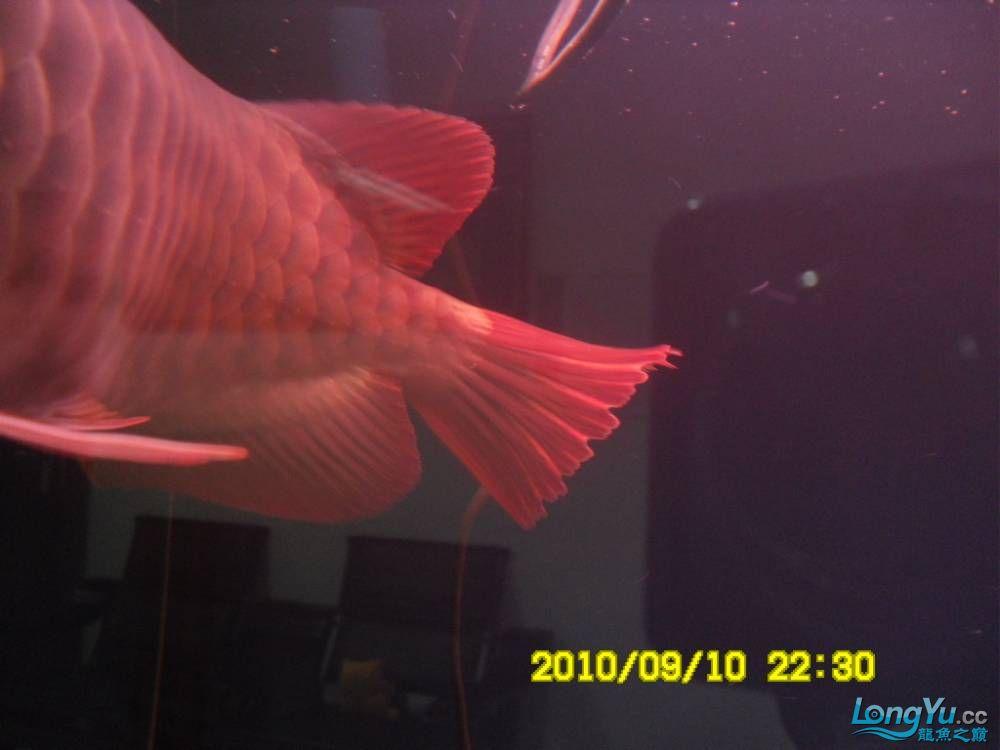 我的红龙鱼,前济南观赏鸟处理面发贴,大家说鱼发色慢我买了御龙国际顶灯后的效果!大 济南观赏鱼 济南龙鱼第2张