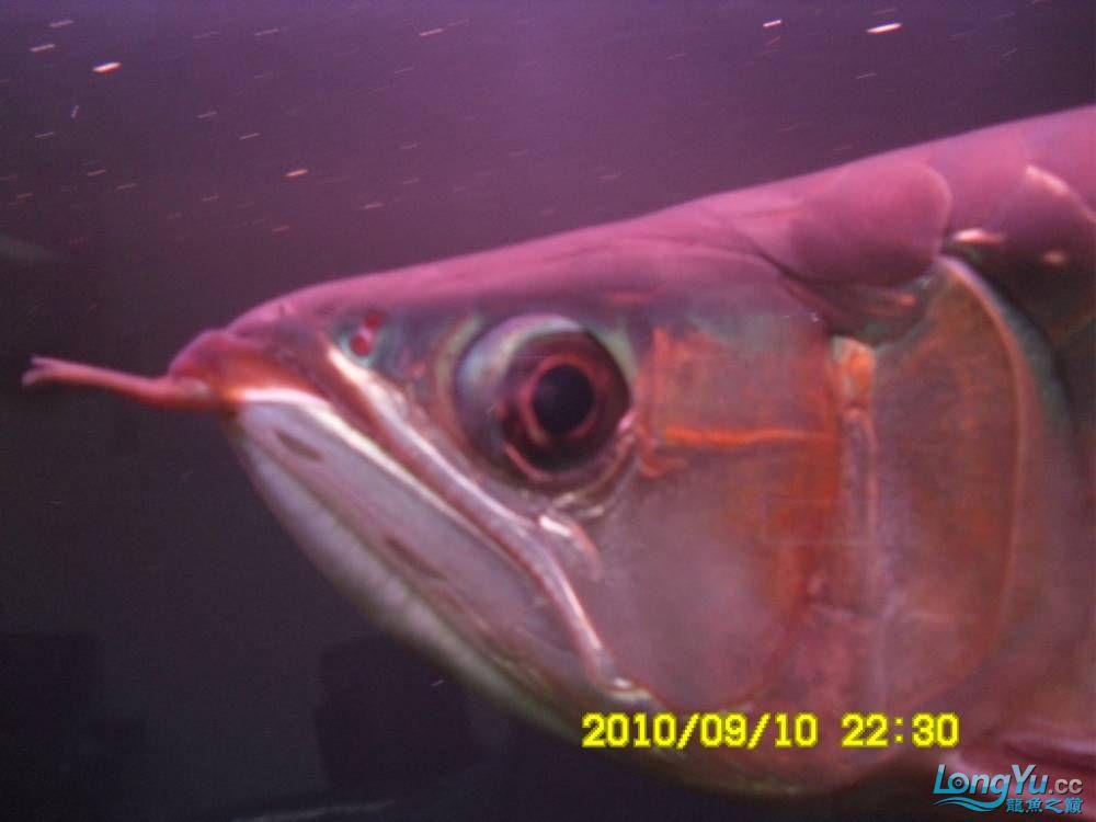 我的红龙鱼,前济南观赏鸟处理面发贴,大家说鱼发色慢我买了御龙国际顶灯后的效果!大 济南观赏鱼 济南龙鱼第23张