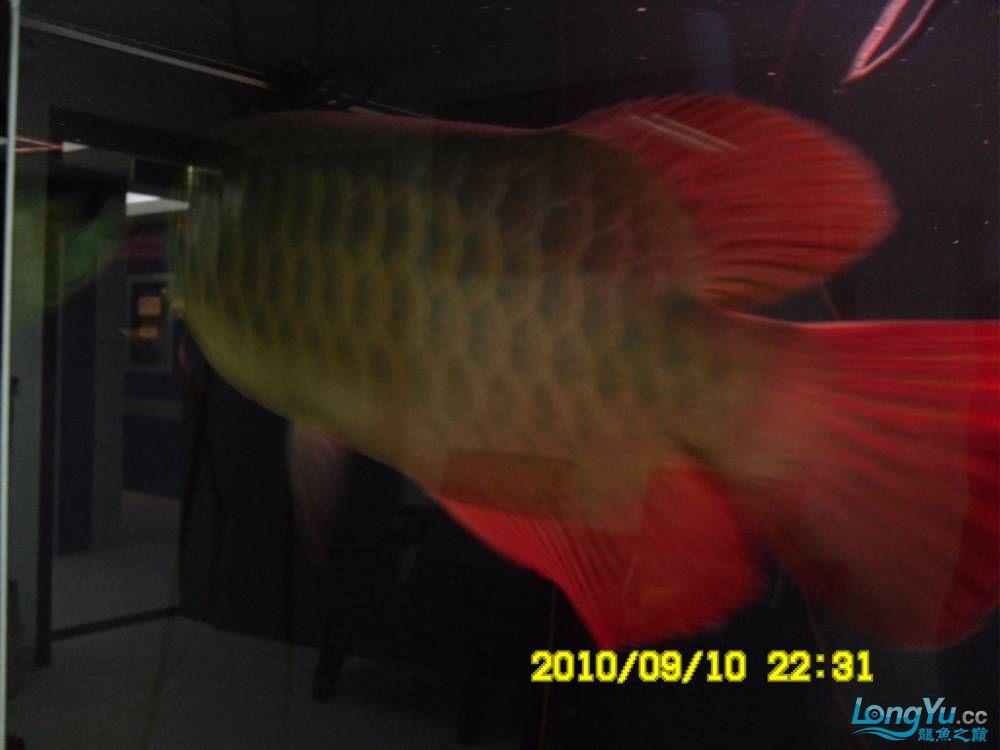 我的红龙鱼,前济南观赏鸟处理面发贴,大家说鱼发色慢我买了御龙国际顶灯后的效果!大 济南观赏鱼 济南龙鱼第22张