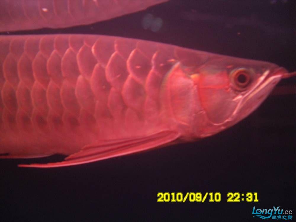 我的红龙鱼,前济南观赏鸟处理面发贴,大家说鱼发色慢我买了御龙国际顶灯后的效果!大 济南观赏鱼 济南龙鱼第21张