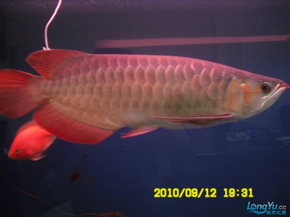 我的红龙鱼,前济南观赏鸟处理面发贴,大家说鱼发色慢我买了御龙国际顶灯后的效果!大 济南观赏鱼 济南龙鱼第20张