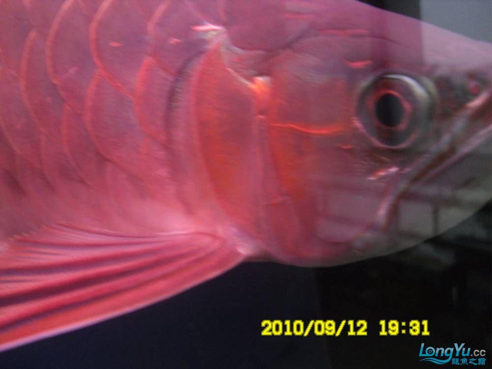 我的红龙鱼,前济南观赏鸟处理面发贴,大家说鱼发色慢我买了御龙国际顶灯后的效果!大 济南观赏鱼 济南龙鱼第19张