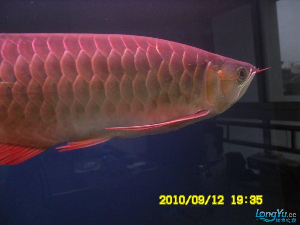 我的红龙鱼,前济南观赏鸟处理面发贴,大家说鱼发色慢我买了御龙国际顶灯后的效果!大 济南观赏鱼 济南龙鱼第28张