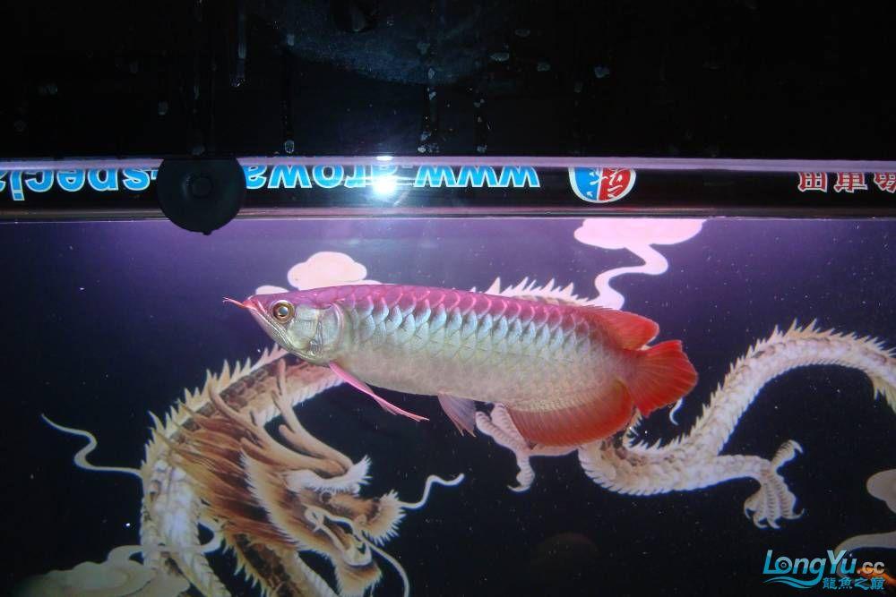 请龙翔大哥跟鱼友乡亲们进来瞅瞅我的小鱼,猛提意见~! 呼和浩特龙鱼论坛 呼和浩特龙鱼第2张