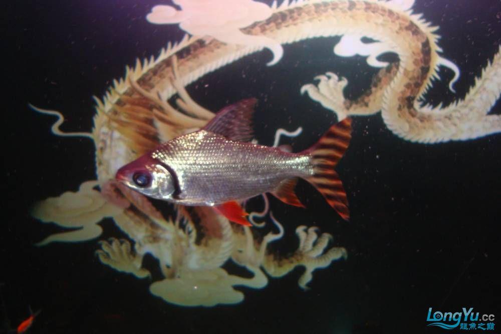 请龙翔大哥跟鱼友乡亲们进来瞅瞅我的小鱼,猛提意见~! 呼和浩特龙鱼论坛 呼和浩特龙鱼第4张