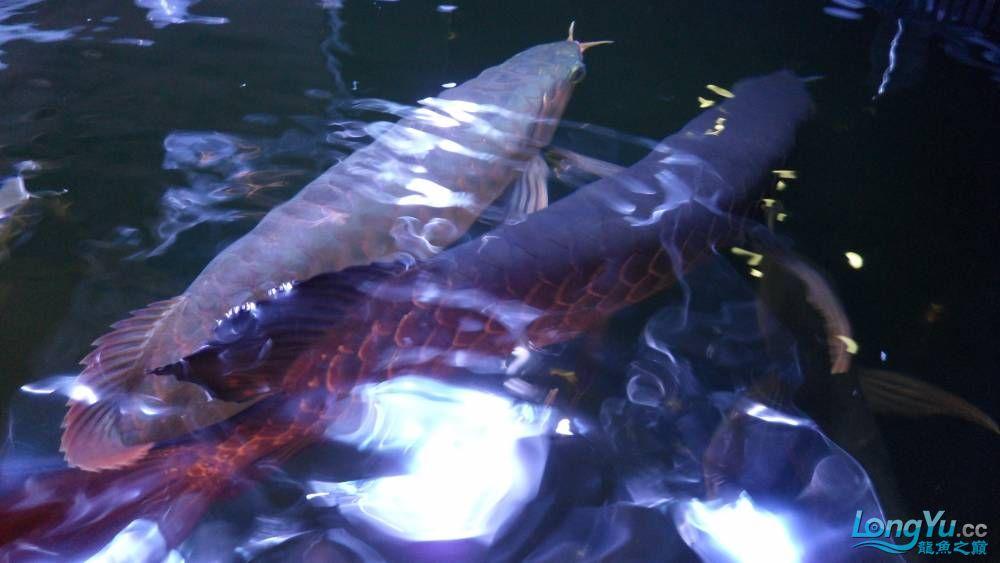 回复尼基 的帖子 也就第一张看的清楚点.. 水中照不出背部啊- - 我很郁闷啊= 观赏鱼常见疾病 南通水族批发市场第12张