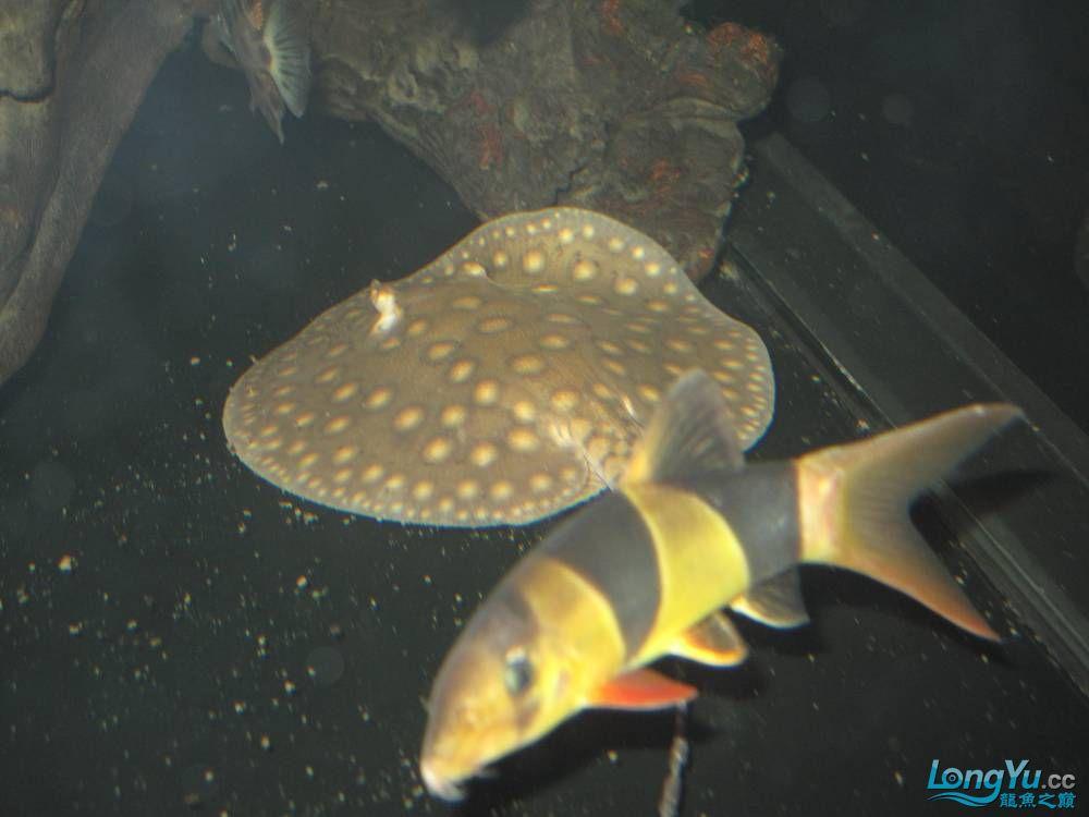 各位帮我看看【呼和浩特白金龙鱼和银龙鱼】是珍珠吗? 呼和浩特龙鱼论坛 呼和浩特龙鱼第4张