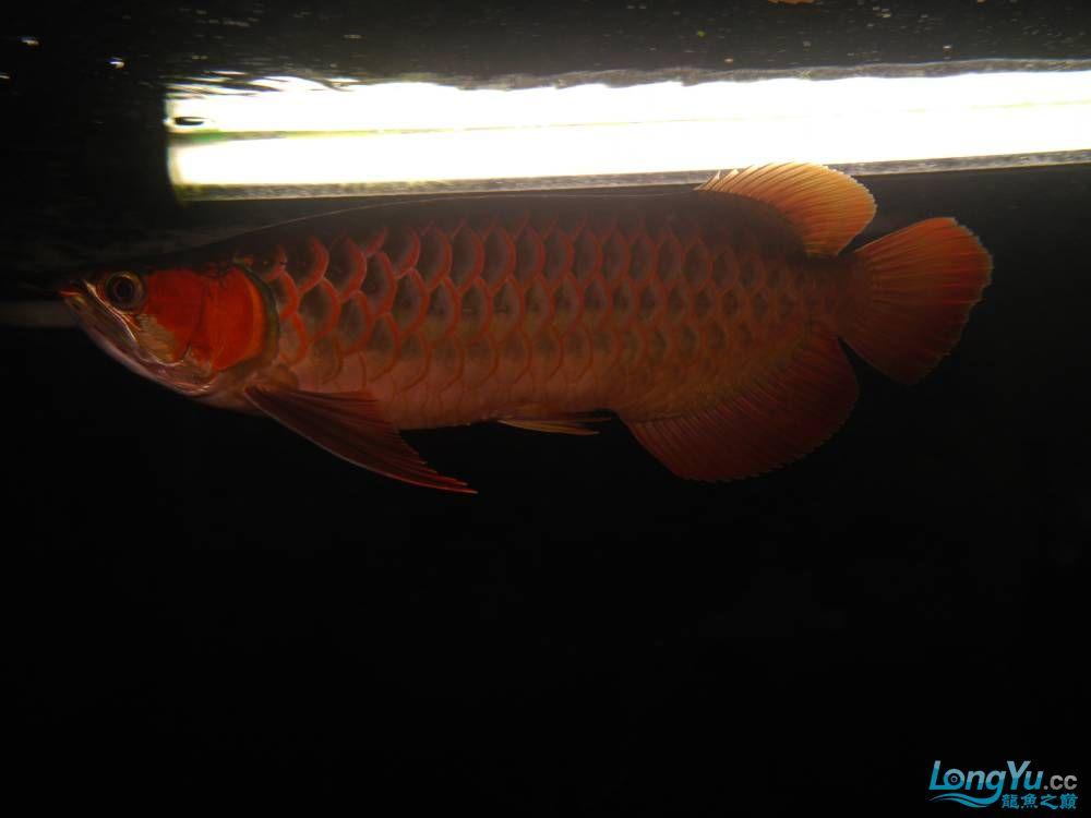 合肥水族馆朋友养的一条五个月的红龙发几张图片给大家看看 合肥龙鱼论坛 合肥龙鱼第6张
