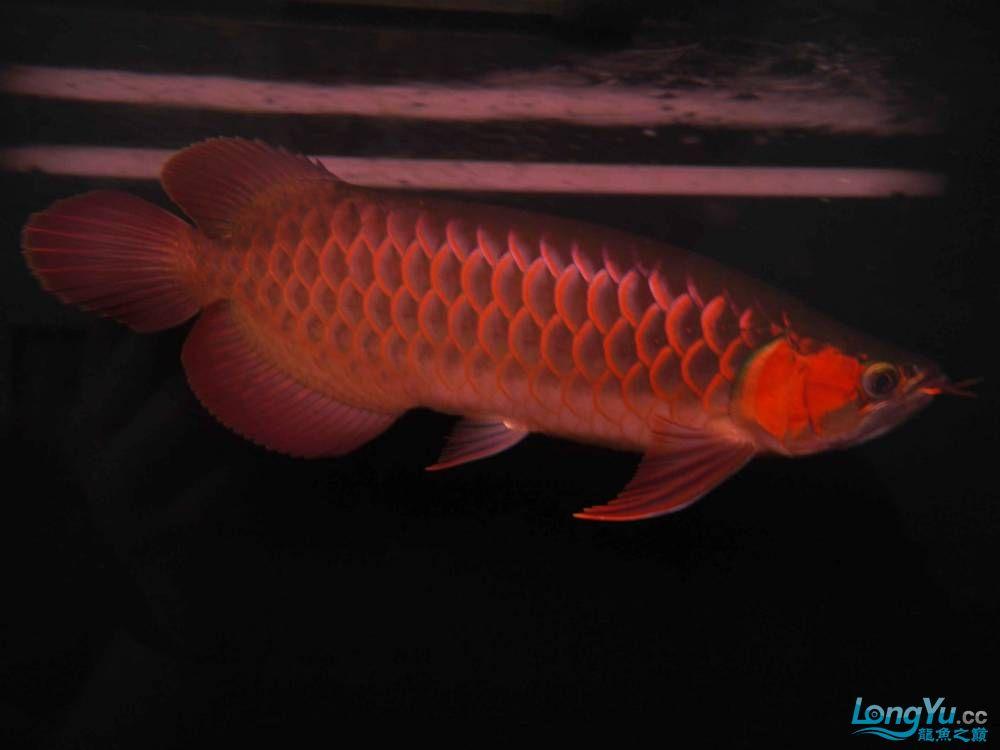 合肥水族馆朋友养的一条五个月的红龙发几张图片给大家看看 合肥龙鱼论坛 合肥龙鱼第13张