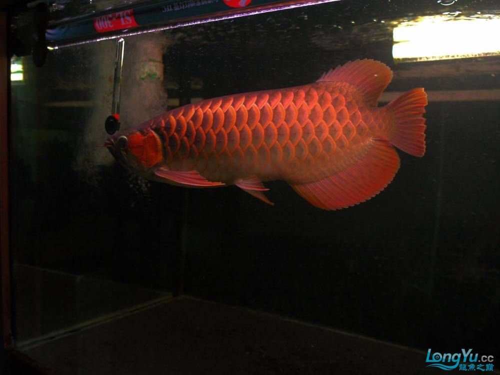 合肥水族馆朋友养的一条五个月的红龙发几张图片给大家看看 合肥龙鱼论坛 合肥龙鱼第16张