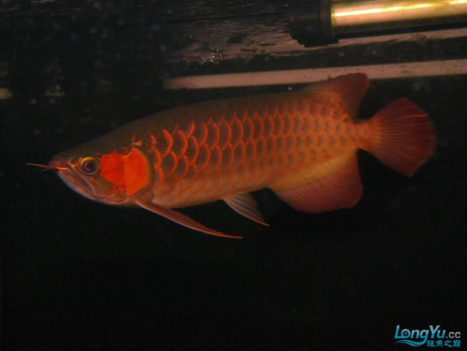 合肥水族馆朋友养的一条五个月的红龙发几张图片给大家看看 合肥龙鱼论坛 合肥龙鱼第28张