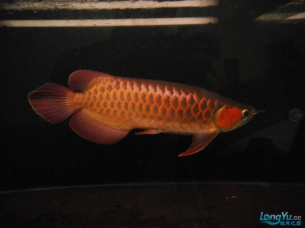 合肥水族馆朋友养的一条五个月的红龙发几张图片给大家看看 合肥龙鱼论坛 合肥龙鱼第33张