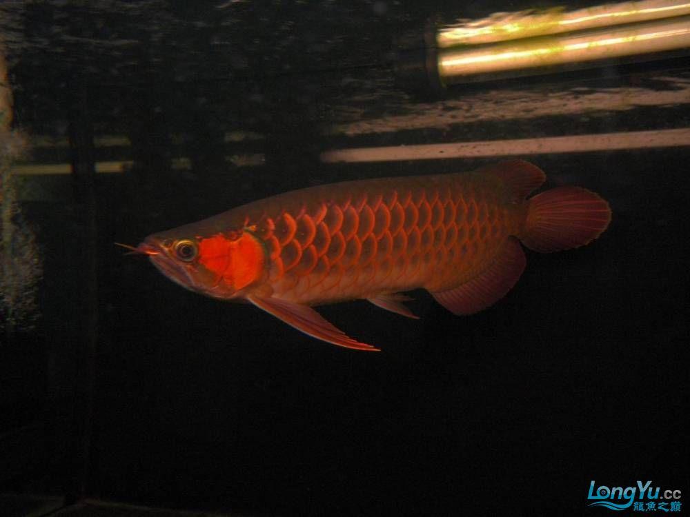 合肥水族馆朋友养的一条五个月的红龙发几张图片给大家看看 合肥龙鱼论坛 合肥龙鱼第38张