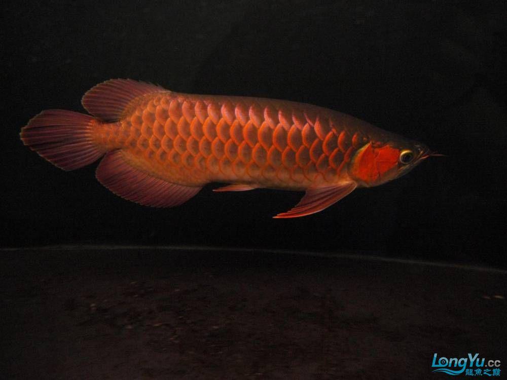 合肥水族馆朋友养的一条五个月的红龙发几张图片给大家看看 合肥龙鱼论坛 合肥龙鱼第39张