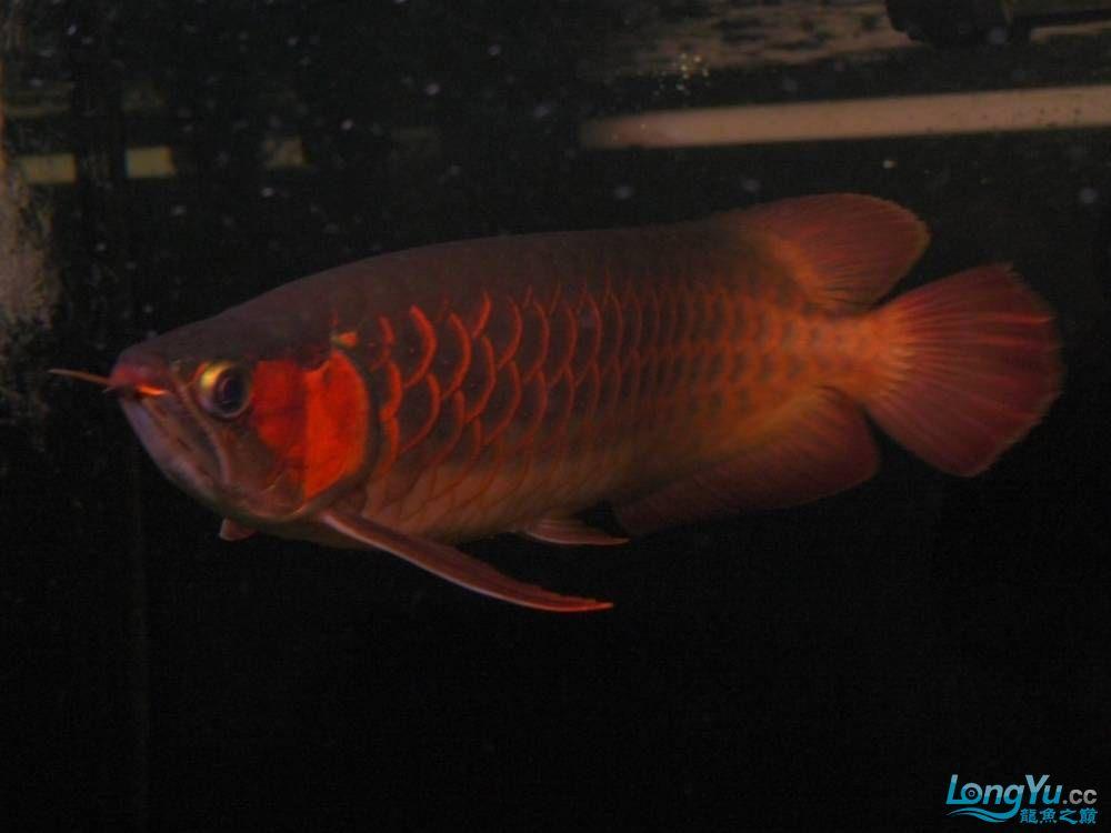 合肥水族馆朋友养的一条五个月的红龙发几张图片给大家看看 合肥龙鱼论坛 合肥龙鱼第43张