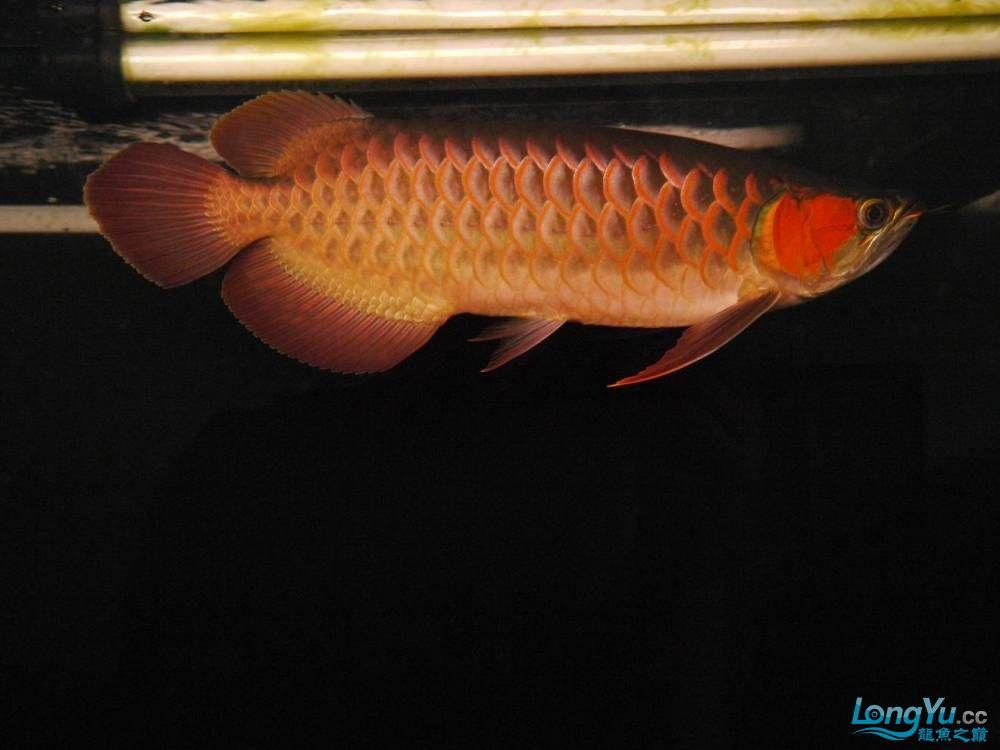 合肥水族馆朋友养的一条五个月的红龙发几张图片给大家看看 合肥龙鱼论坛 合肥龙鱼第59张