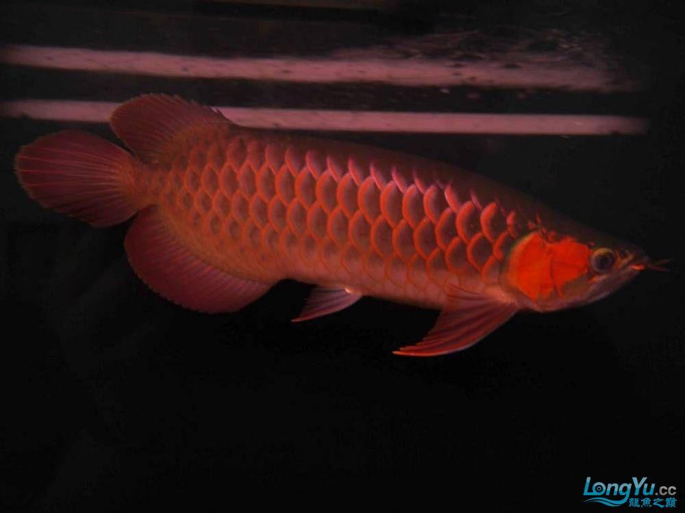 合肥水族馆朋友养的一条五个月的红龙发几张图片给大家看看 合肥龙鱼论坛 合肥龙鱼第60张