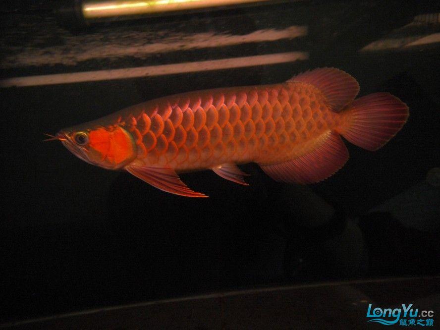 合肥水族馆朋友养的一条五个月的红龙发几张图片给大家看看 合肥龙鱼论坛 合肥龙鱼第73张