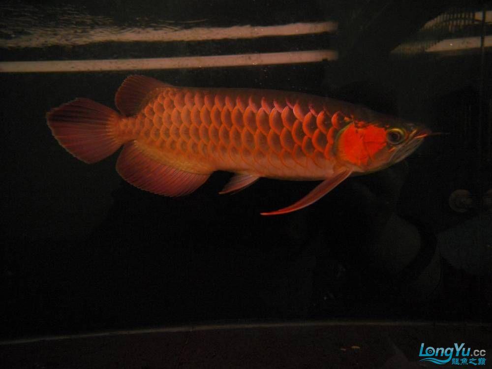 合肥水族馆朋友养的一条五个月的红龙发几张图片给大家看看 合肥龙鱼论坛 合肥龙鱼第75张