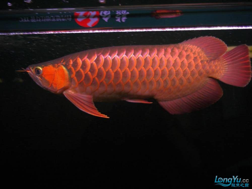 合肥水族馆朋友养的一条五个月的红龙发几张图片给大家看看 合肥龙鱼论坛 合肥龙鱼第83张