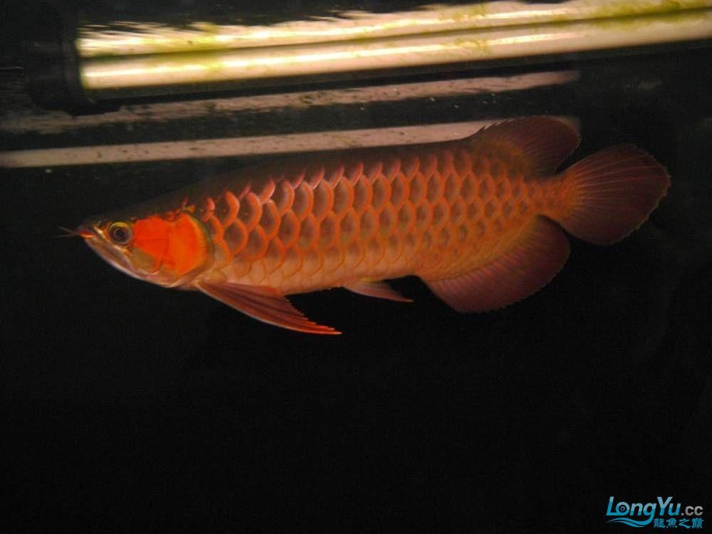 合肥水族馆朋友养的一条五个月的红龙发几张图片给大家看看 合肥龙鱼论坛 合肥龙鱼第92张