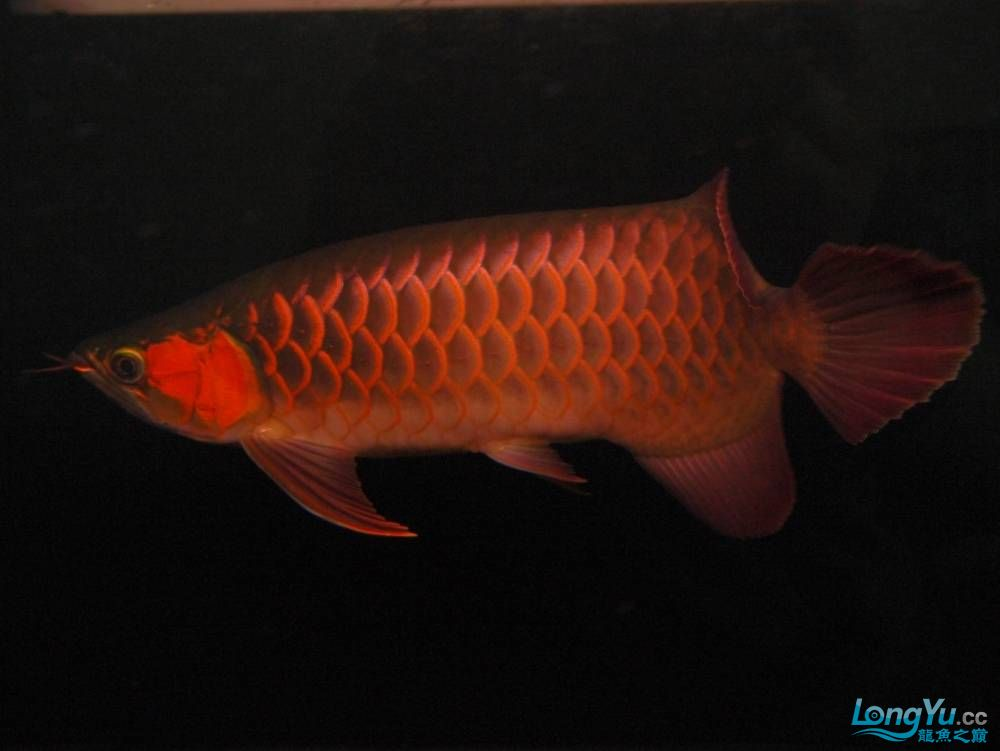 合肥水族馆朋友养的一条五个月的红龙发几张图片给大家看看 合肥龙鱼论坛 合肥龙鱼第96张