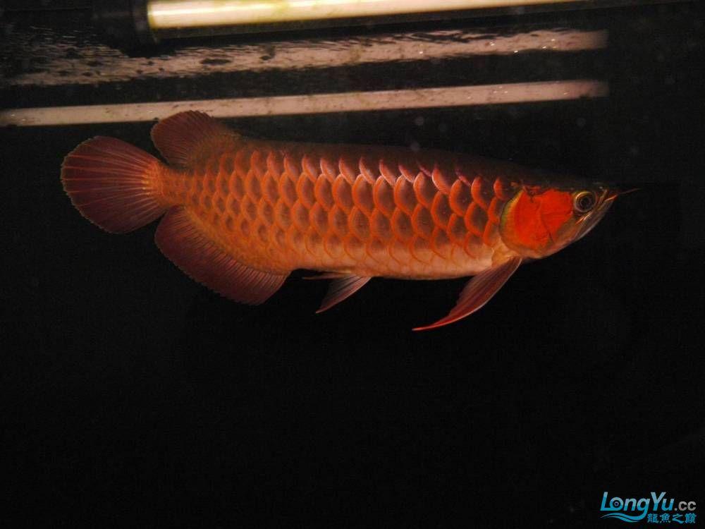 合肥水族馆朋友养的一条五个月的红龙发几张图片给大家看看 合肥龙鱼论坛 合肥龙鱼第101张