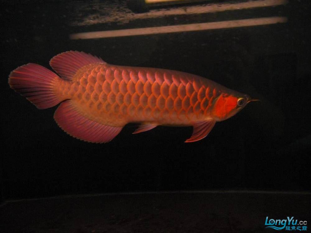 合肥水族馆朋友养的一条五个月的红龙发几张图片给大家看看 合肥龙鱼论坛 合肥龙鱼第102张