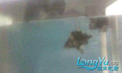 关于虎在水面上游的问题请教下大家 南昌龙鱼论坛 南昌龙鱼第1张