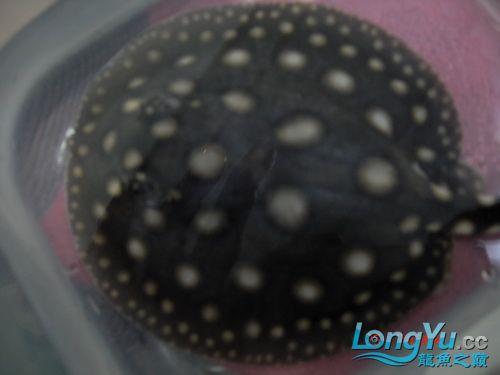 出售皇冠小母魟(已售20101209) 呼和浩特观赏鱼 呼和浩特龙鱼第2张