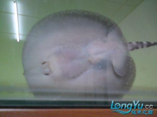 出售皇冠小母魟(已售20101209) 呼和浩特观赏鱼 呼和浩特龙鱼第4张