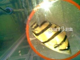 这是什么品种虎 上海龙鱼论坛 上海龙鱼第1张