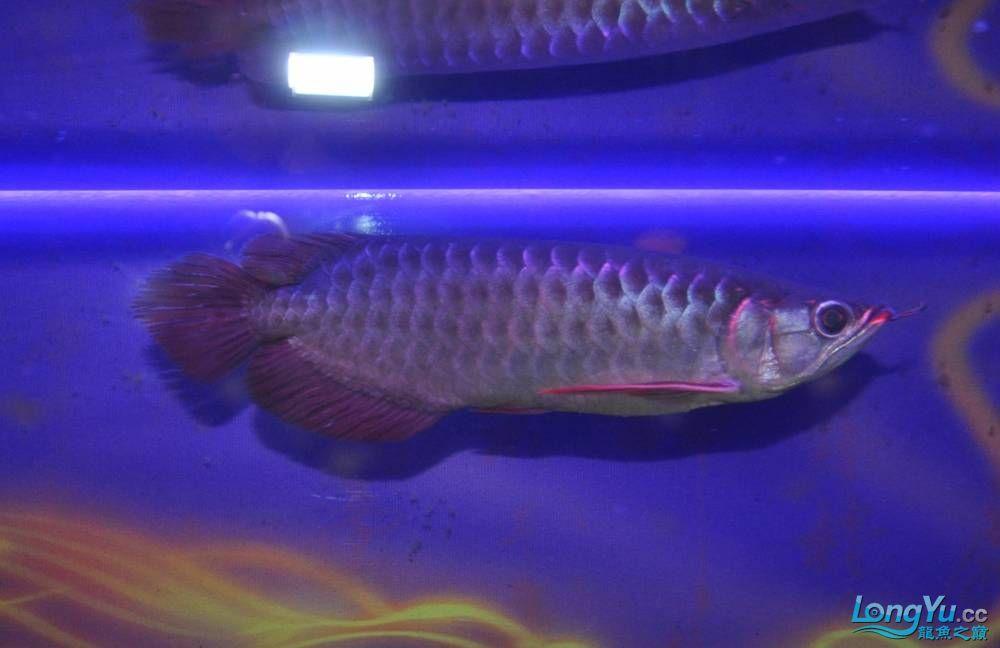 再次请大家帮忙三选一 杭州水族批发市场 杭州龙鱼第1张