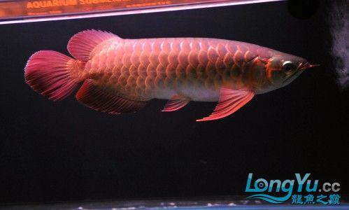 32厘米左右的精品红龙 已售 南昌龙鱼论坛 南昌龙鱼第2张