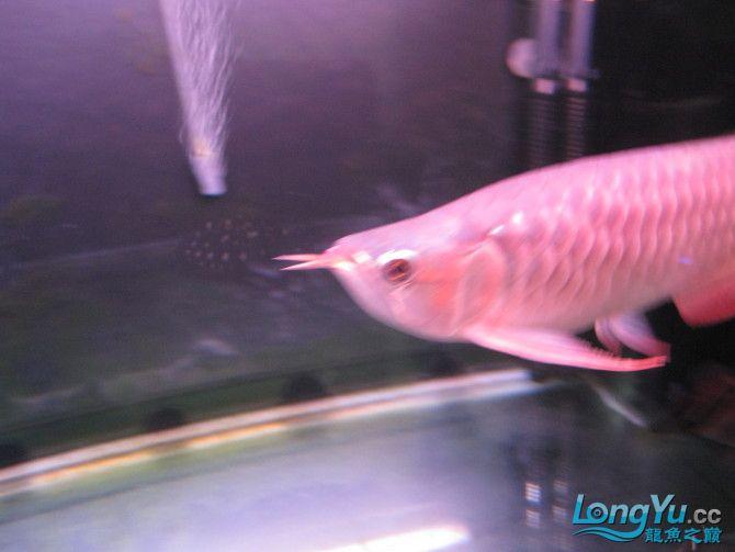 到家三个月的皇宫红龙大家看看怎么样 西安龙鱼论坛 西安龙鱼第4张