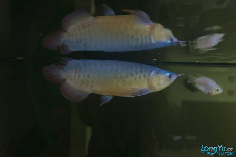 秀秀新手养的红龙 银川水族批发市场 银川龙鱼第2张