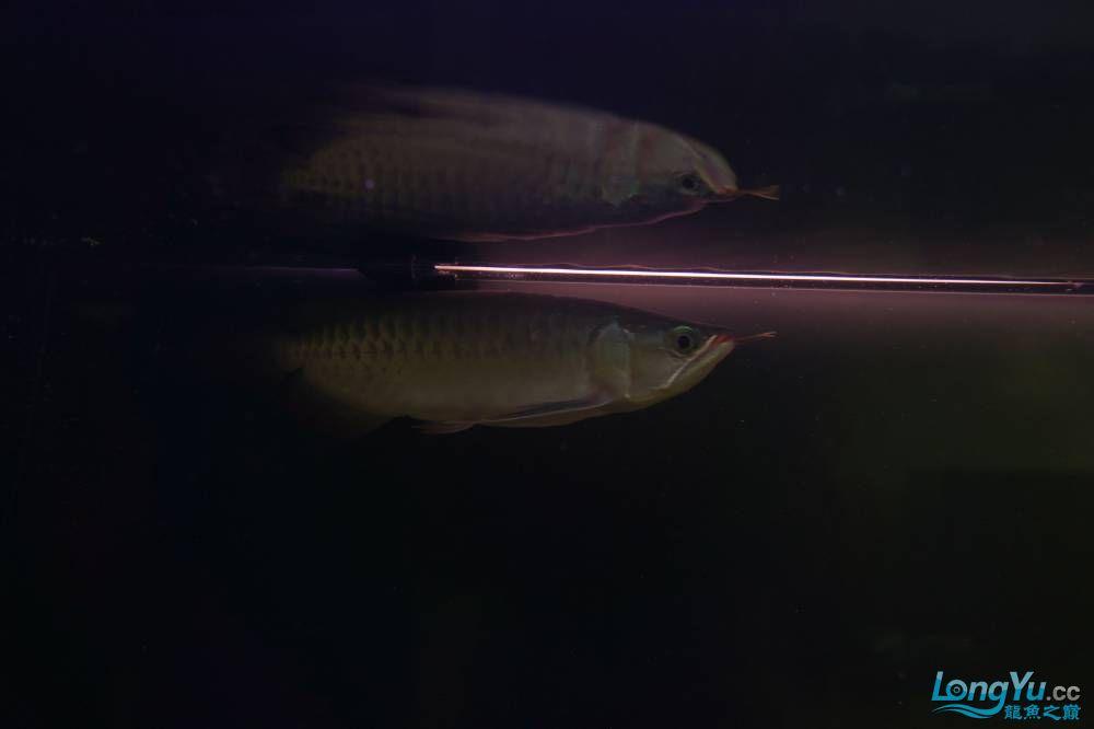 秀秀新手养的红龙 银川水族批发市场 银川龙鱼第3张