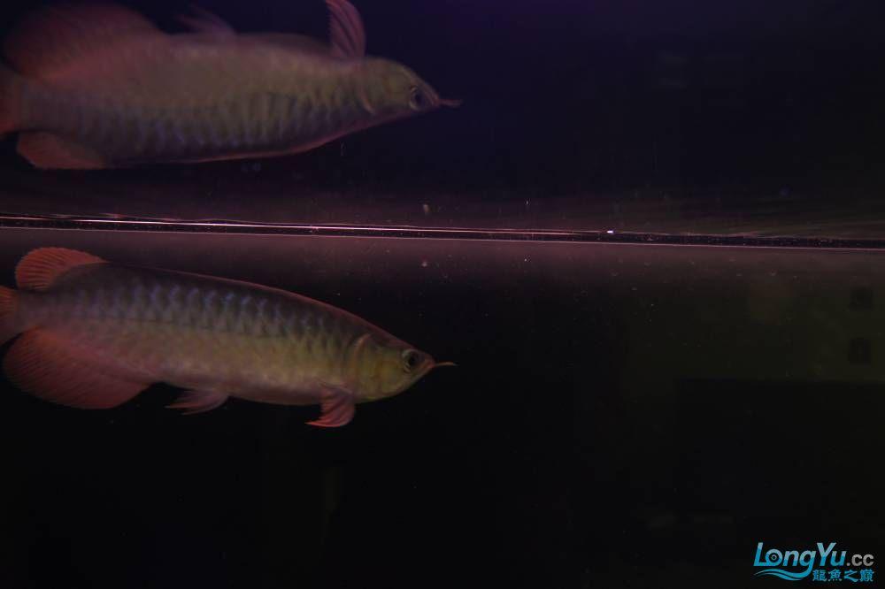 秀秀新手养的红龙 银川水族批发市场 银川龙鱼第4张