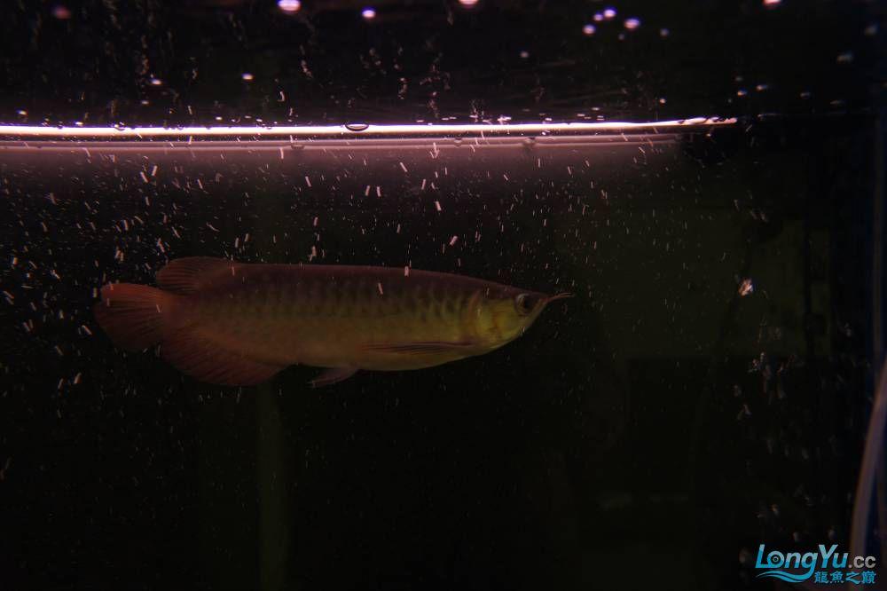 秀秀新手养的红龙 银川水族批发市场 银川龙鱼第6张