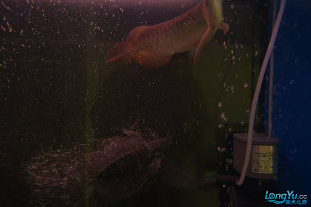 秀秀新手养的红龙 银川水族批发市场 银川龙鱼第7张