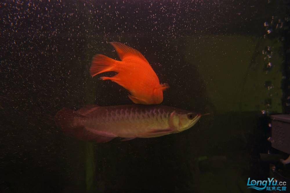 秀秀新手养的红龙 银川水族批发市场 银川龙鱼第8张
