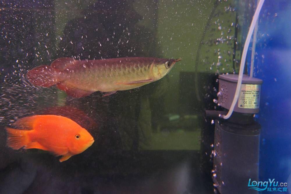 秀秀新手养的红龙 银川水族批发市场 银川龙鱼第11张
