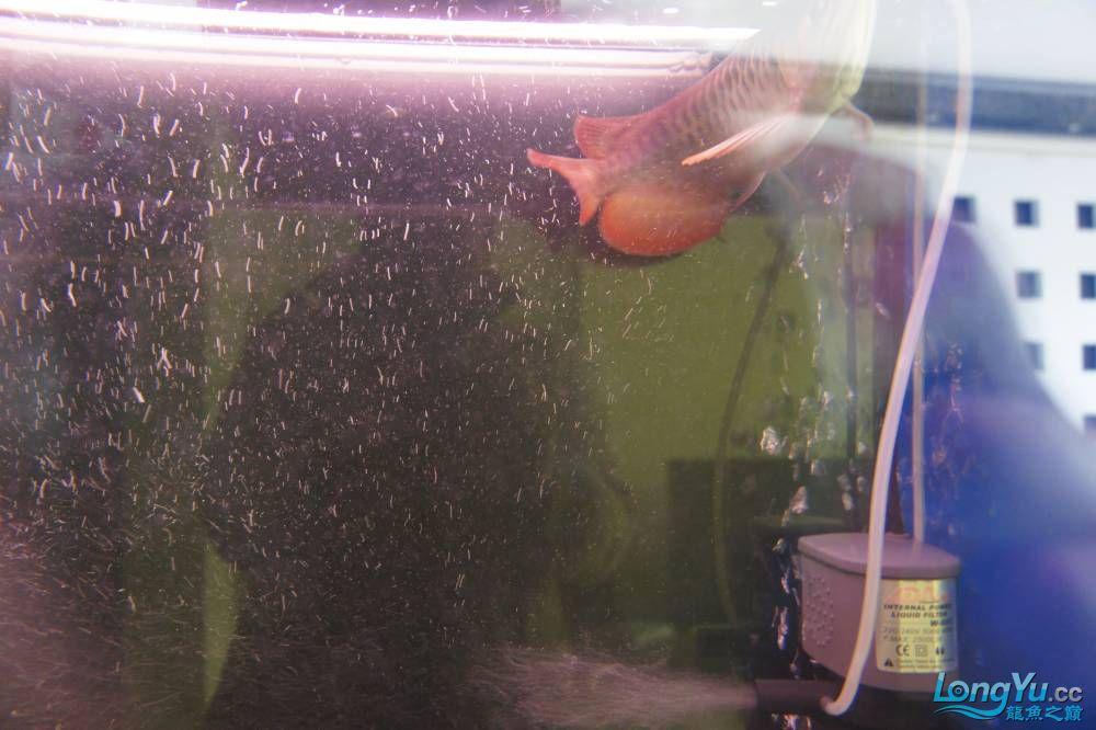 秀秀新手养的红龙 银川水族批发市场 银川龙鱼第12张