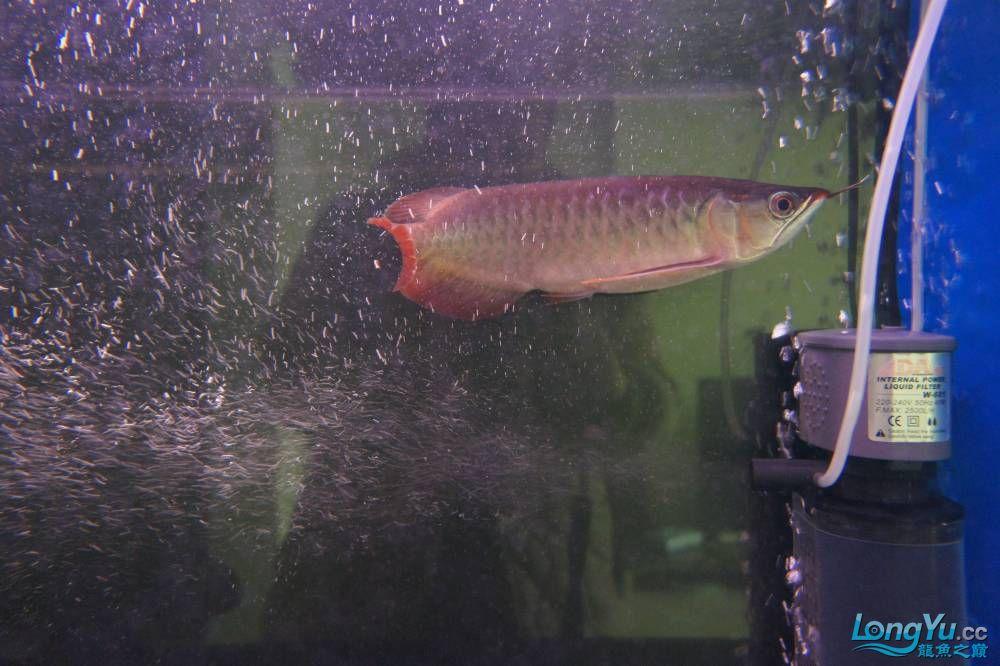 秀秀新手养的红龙 银川水族批发市场 银川龙鱼第13张