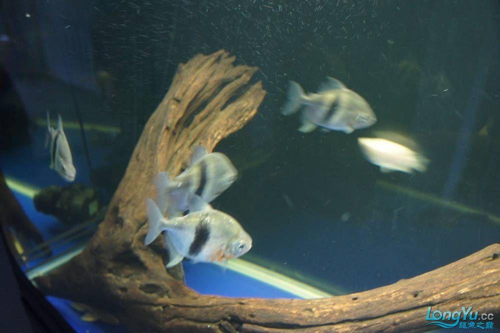 秀秀新手养的红龙 银川水族批发市场 银川龙鱼第15张
