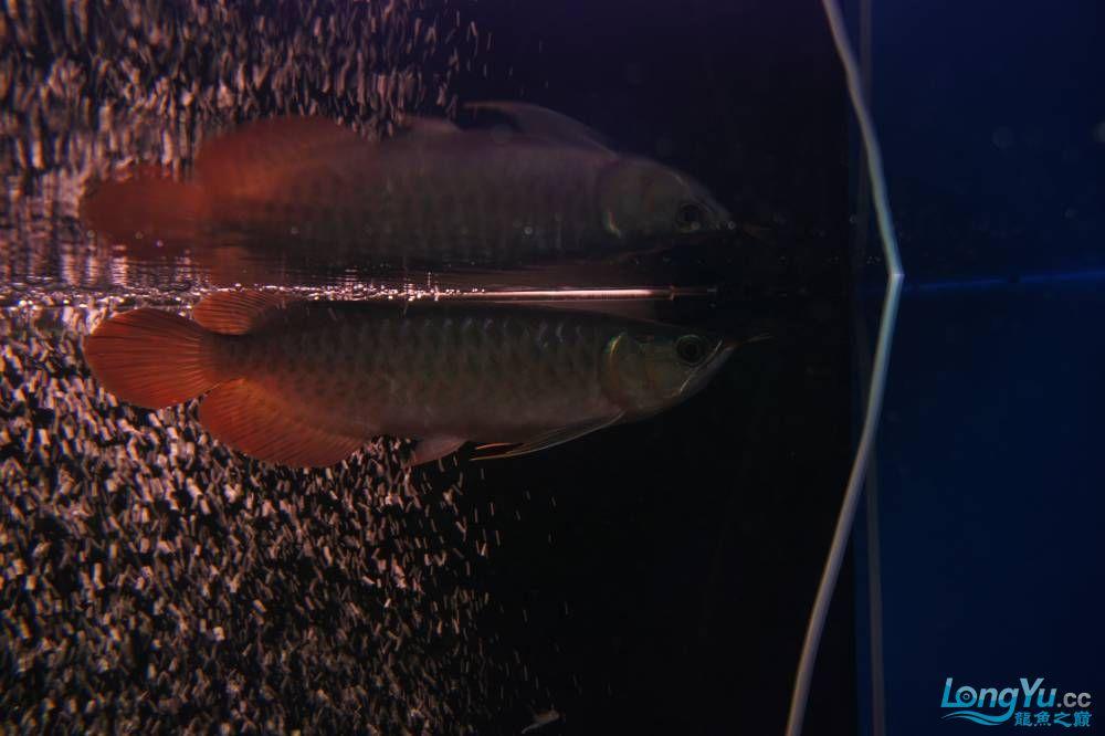 秀秀新手养的红龙 银川水族批发市场 银川龙鱼第19张